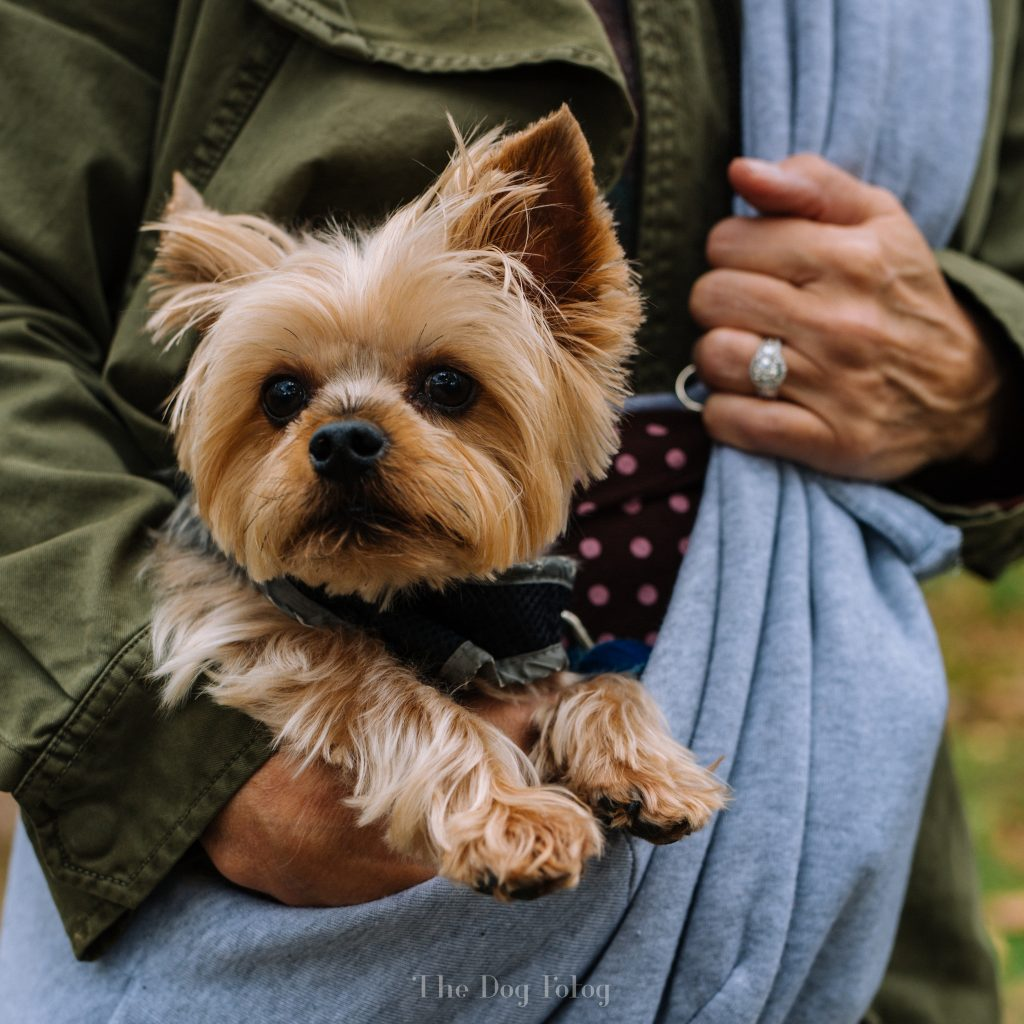 Max, the Yorkie by the Dog Fotog